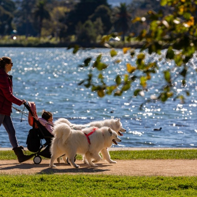 MELBOURNE, AUSTRALIA - MAY 16: A pair of giant Huskies walks their owner and her baby at Albert Park Lake as restrictions are being eased in Victoria during COVID 19 on 16 May, 2020 in Melbourne, Australia. (Photo by Speed Media/Icon Sportswire)